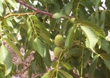 Noyer des Carpates, Juglans regia (English walnut) 5a-5b
