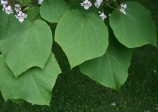 Catalpa de Chine, Catalpa ovata, (Yellow Catalpa)