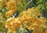 Black maple, Acer nigrum