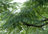 Chicot du Canada, Gymnocladus dioicus, (Kentucky Coffeetree)