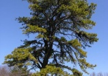 Pin Rigide, Pinus rigida, (Pitch Pine)
