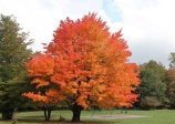 Érable à sucre, Acer saccharum, (Sugar Maple)