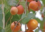 Discovering kit, edible rare fruit trees