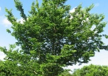 Hackberry, celtis occidentalis