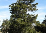 Eastern red-cedar, Juniperus virginiana