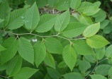 Yellow Birch, Betula alleghaniensis