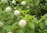 Bois-Bouton, (Cephalanthus occidentalis)