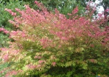 burning-bush (euonymus atropurpureus)