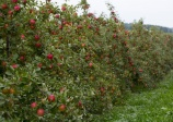 apple tree 'Honey crisp'