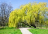 Weeping willow (salix alba 'tristis')