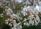 Canadian serviceberry (amelanchier canadensis)
