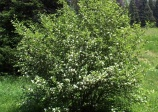 Sasakatoonberry or western serviceberry (amechanchier alnifolia smokey)