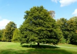 willow oak, (Quercus phellos)