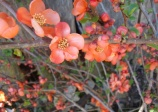 Flowering quince  'spit fire' Chaenomeles
