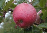 apple tree 'Spencer'