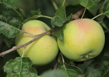 apple tree 'Goodland'