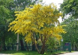 Golden Chain Tree (Laburnum anagyroides)