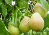pear 'Luscious', (pyrus Spp)