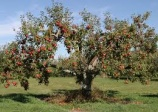 apple tree 'Empire' (malus empire)