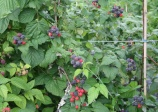 Black raspberry 'Jewel' (Rubus occidentalis)