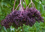 Common elderberry (Sambucus canadensis)