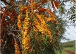 Sea buckthorn 'Orange energie'  (HIPPOPHAE rhamnoides)
