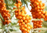 'russian Orange' sea buckthorn (HIPPOPHAE rhamnoides)