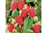 Raspberry 'Autumn bliss' (Rubus idaeus)