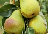 Pear 'Harrow delight' (Pyrus communis)
