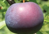 Plum 'Black Ice' prunus