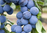 Plum Damas Blue