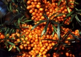 Sea buckthorn 'Harvest Moon'  (HIPPOPHAE rhamnoides)