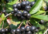 Black chokeberry 'Vicking' (aronia melanocarpa)