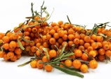 Sea buckthorn 'Golden Rain'  (HIPPOPHAE rhamnoides)
