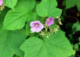Purple-flowered raspberry(Rubus odoratus)