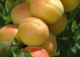 Apricot 'Puget gold'