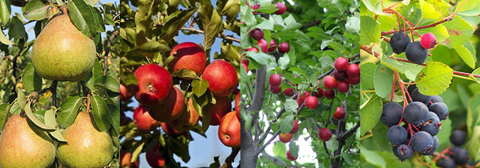 Berries, minor fruits and fruit trees